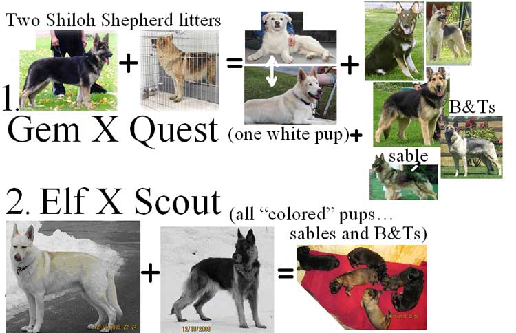 IMAGE(http://www.siriusdog.com/images/articles/512/2-Shiloh-litters---color-st.jpg)